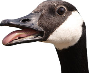 Canadian goose waste removal